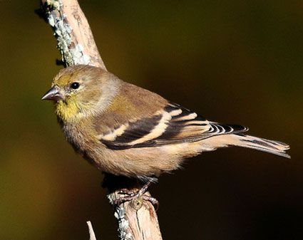American Goldfinch - Adult female nonbreeding