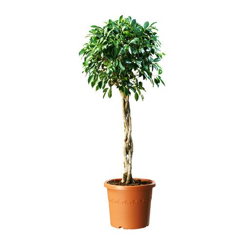 FICUS NITIDA Roślina doniczkowa IKEA