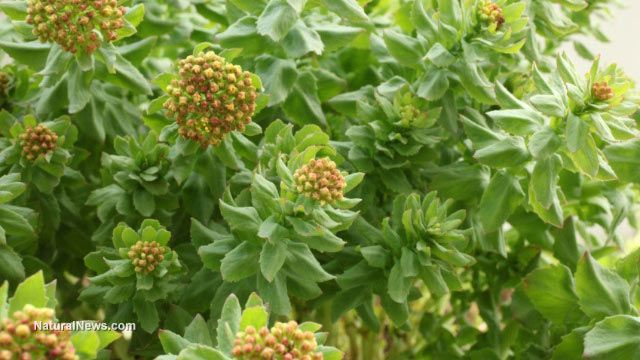 Rhodiola herbal extract increases fruit fly lifespan by 25 percent: Research