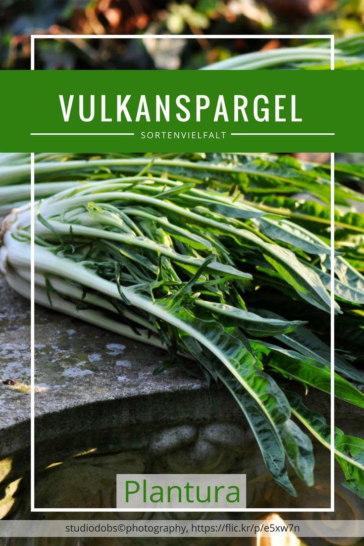 Viele Namen trägt das Gemüse, das es auf unseren Märkten nur selten zu kaufen gibt: Die Puntarelle oder auch Cimata ist eng mit dem Chicorée verwandt. Im Deutschen wird er auch häufig Spargelchicorée oder Vulkanspargel genannt.