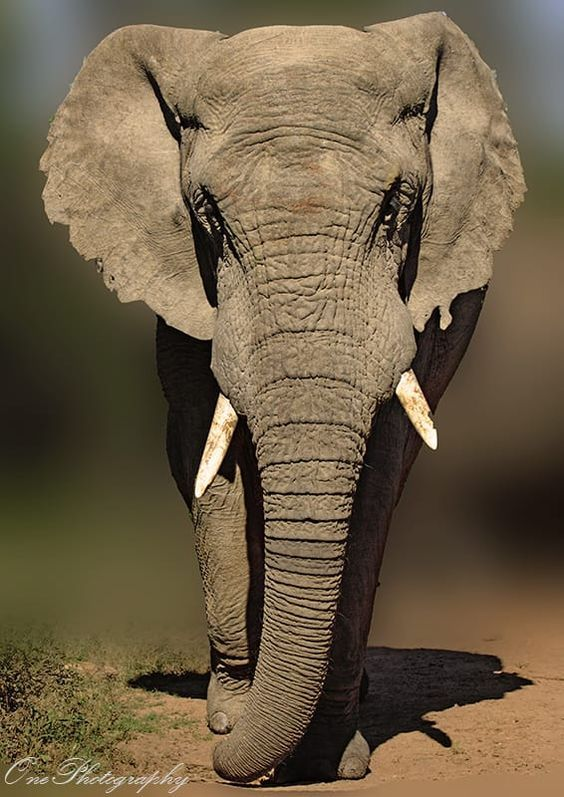 Pin Von Chumani On Tree Auf Elephants Mit Bildern Elefanten Tiere Wild Elefant Malen