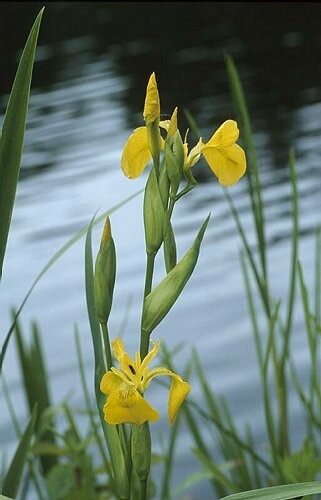 Irises growing near water. I think these may be yellow flag irises.