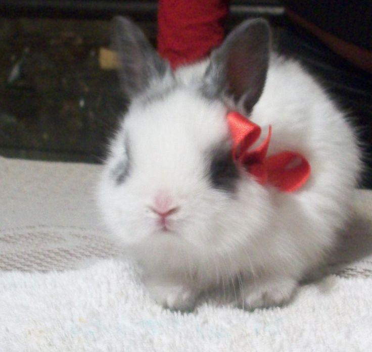 Resultado de imagen para conejos cabeza de leon orejas caidas