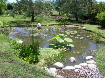 1000 images about estanques on pinterest backyard ponds for Koi pond labradors