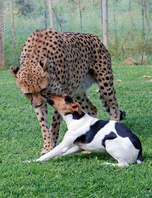 Leopardo y Perro