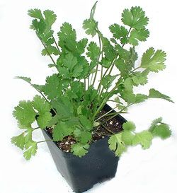 grow and harvest cilantro....cilantro is SUPER HIGH on my list for the garden this year... need it for chimichurri! @Sara Lunde, @Susanna Bundy, @Kristi Bundy