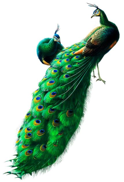 Peacocks PNG Clipart