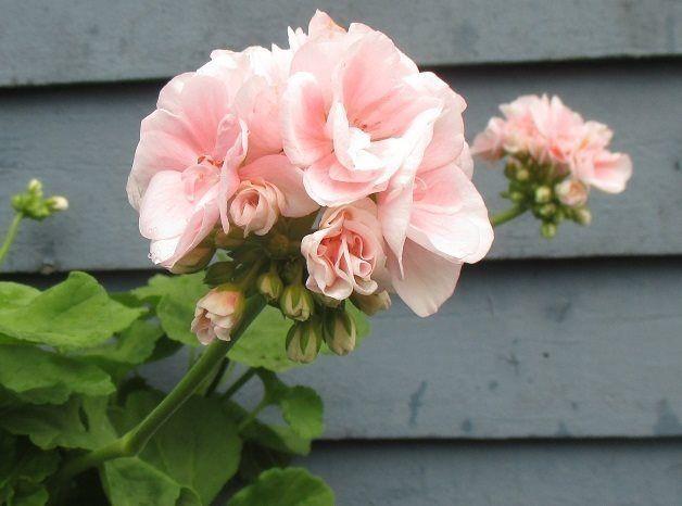 Farbror Harald Halvdubbla ljusrosa blommor, storvuxen och robust. Denna variant har odlats av en äldre trädgårdsmästare från Tågarp i massor av år. En frisk variant.
