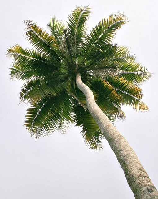A coconut tree (palm tree) by kcbimal, via Flickr: Nature, Palmtrees, Art, Palm Trees, Beach, Paradise, Summertime, Palms