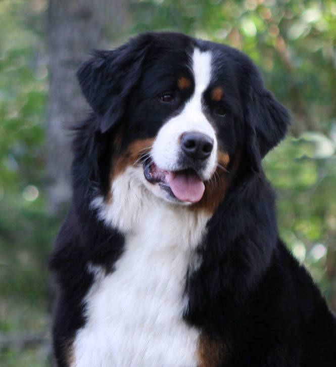 We had a Bernese named Sampson, I miss him