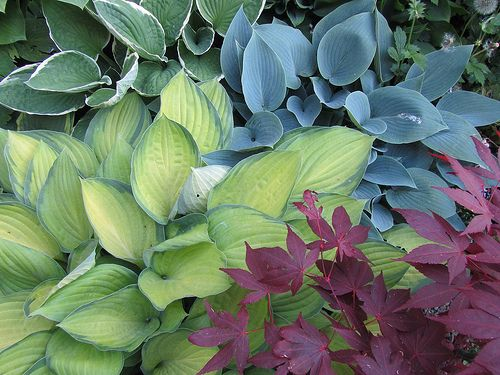 Contrasting varieties of hosta with the burgundy of Acer palmatum