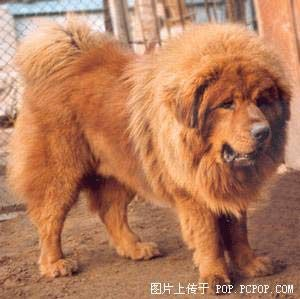 This is a gorgeous Tibetan Mastiff.  A very rare breed once used by the Monks as guard dogs.  They are gentle giants with their families but beware if you plan evil, they are guard dogs weighing around 150 lbs. or more.  A lady in Chinea paid around $7,000,000,000 for one.