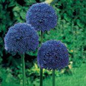 Persian Blue_Allium