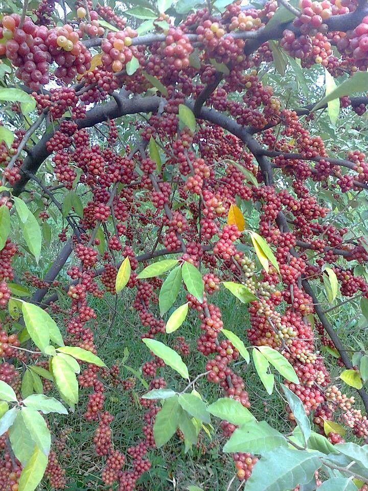 Autumn Olive Berry Güz zeytini