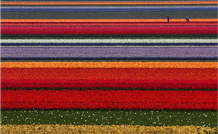 Campo de tulipanes Paises Bajos