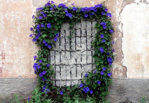 Enredadera de flor violeta