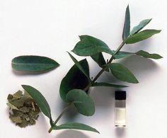 Cómo hacer aceite de eucalipto. Las hojas del eucalipto son altamente beneficiosas para nuestra salud, y es que sus propiedades antisépticas y astringentes nos protegen contra las enfermedades respiratorias más comunes, como la grip...
