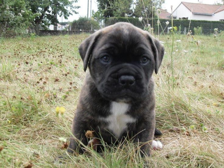 Black Boxer Bullmastiff Puppies Pictures   – Animals
