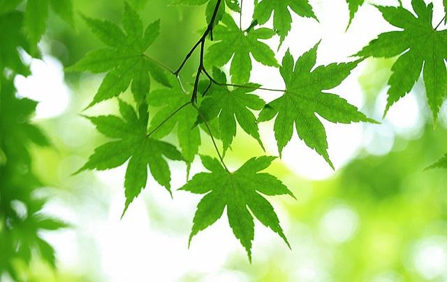 fresh green momiji #2 by * Yumi *, via Flickr