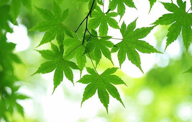 fresh green momiji #2 by * Yumi *, via Flickr