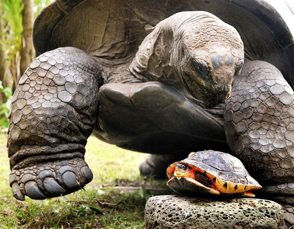 Aldabra Giant Tortoise & Golden Coin Turtle, Melbourne Zoo