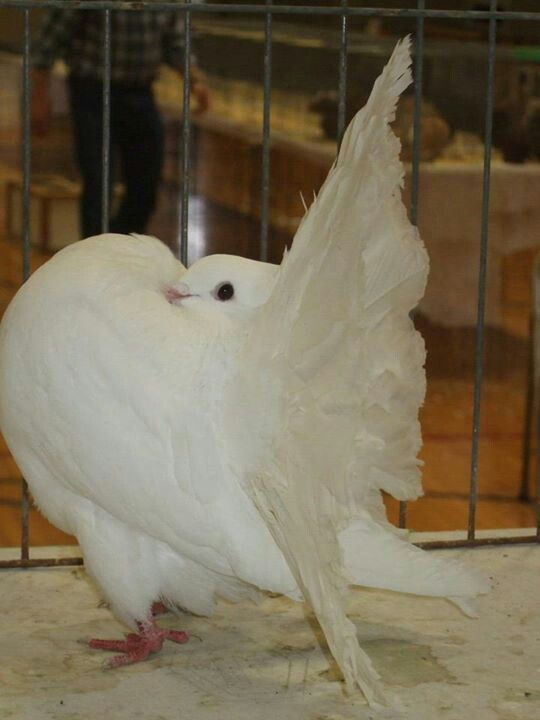 Fantail Pigeon | Pigeons and Pigeon Coops | Pinterest ...