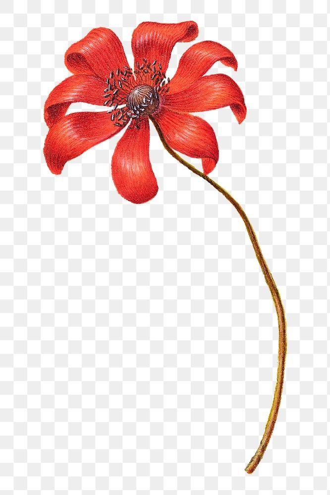 Download Premium Png Of Vintage Poppy Anemone Flower Png Illustration Flower Drawing Anemone Flower Floral Illustrations