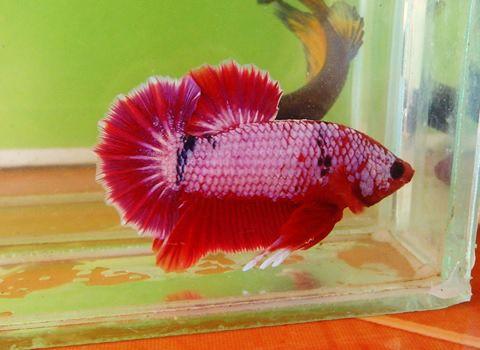 aquabid com item fwbettashmp1530347811 pink fancy dragon hmpk