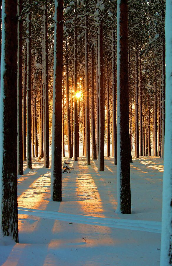 Sweden. With the sun rising, a soft layer of white powder lies untouched and smooth on the ground. It also rests on the branches and trunks of the tall, thin trees, gathering in mounds and layers. The scene is tranquil, a place to be peacefully solitary.