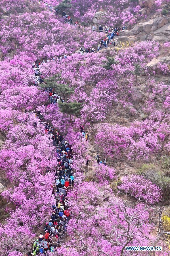 #CHINA-QINGDAO-AZALEA-BLOSSOMS(CN)