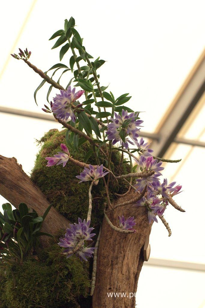 Over the past four years, Jacob has grown the orchid into this super specimen…