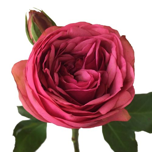 FiftyFlowers.com - Peony Rose Pink Piano
