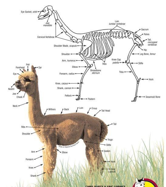 Anatomie Alpaca en meer...