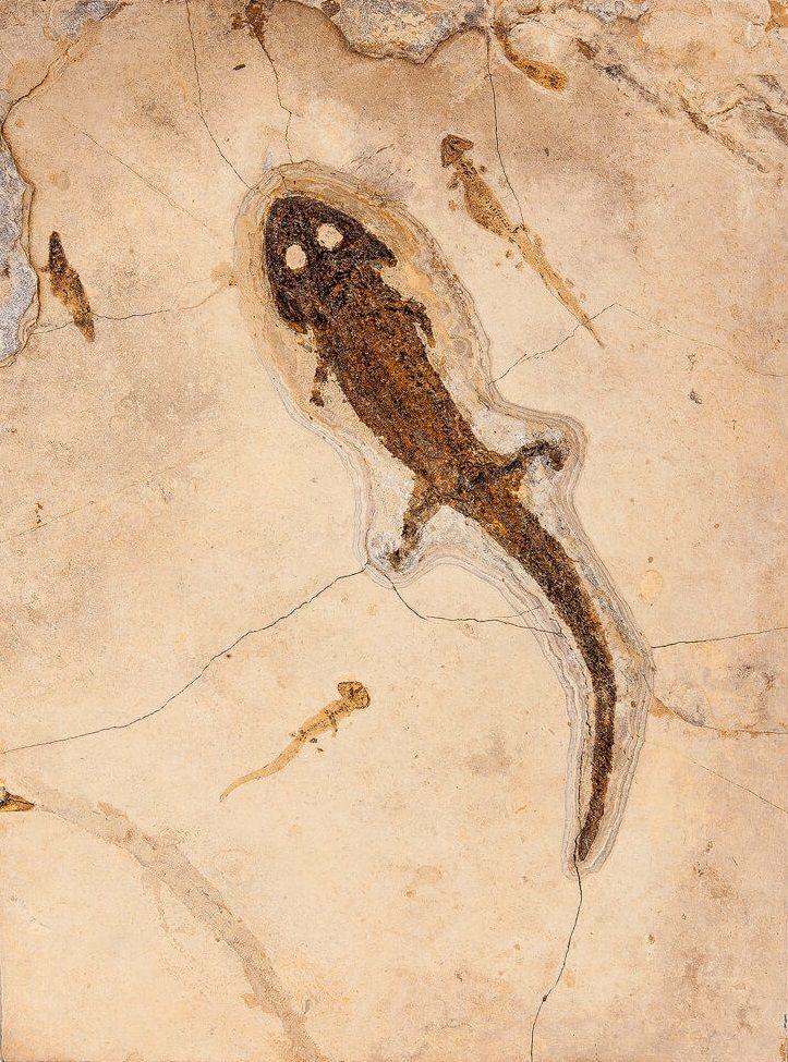 Fossil Amphibian with LarvaeSclerocephalus hauseriPermianOdernheim Pfatz, Germany