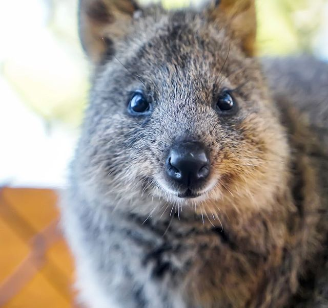 In The Land Of The Quokka Glamping Has Arrived