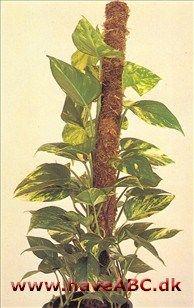 Scindapsus·arterne er medlemmer af arum-familien. Det botaniske navn er afledt af græsk og betyder efeu-lignende; navnet guldranke fortæller om bladfarven. Man kender godt 20 arter, der alle er ...