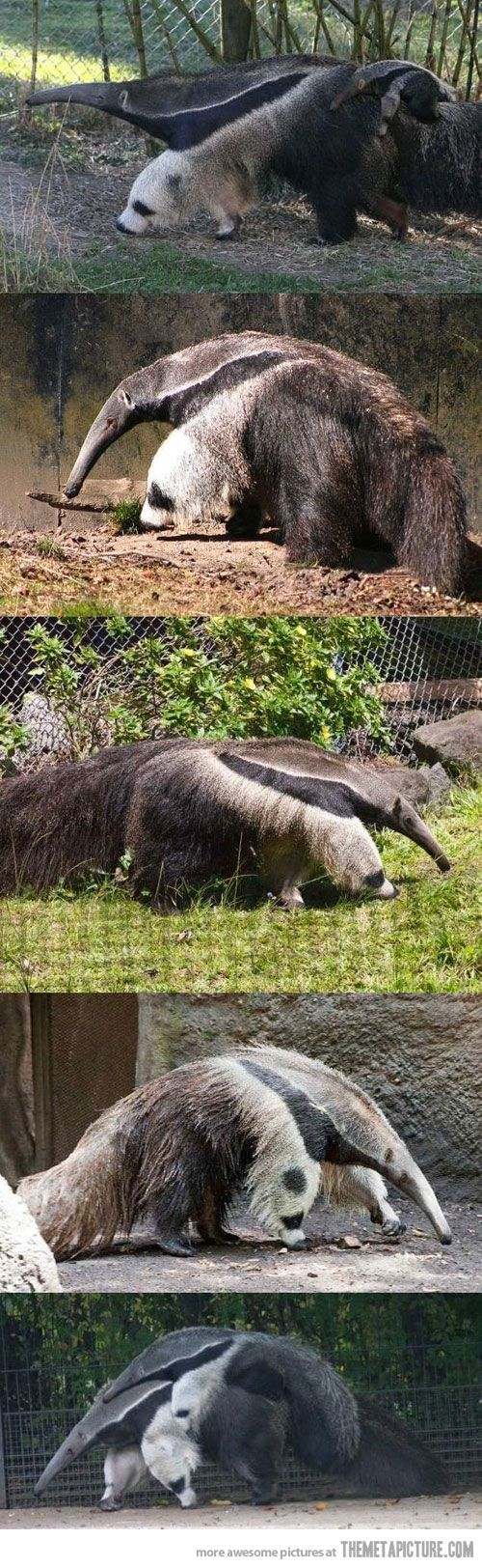 Giant anteater legs look like pandas… like look at me, psh I walk all over pandas.