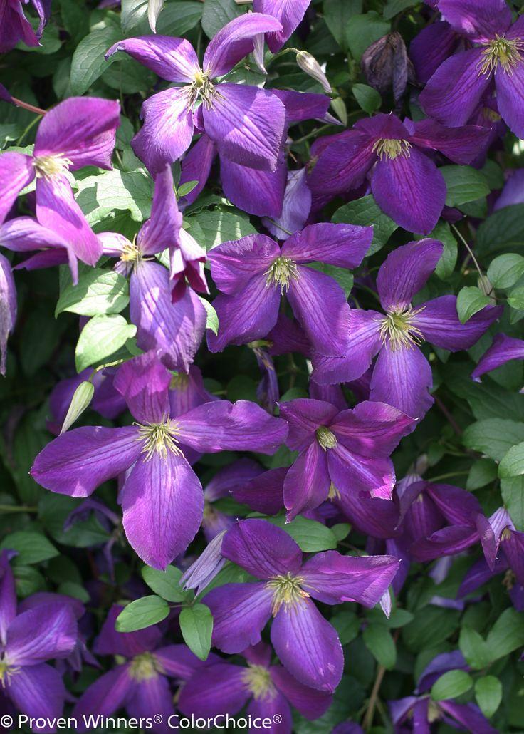 ♡ My Dream Purple Garden | Happy Jack® Purple - Clematis x