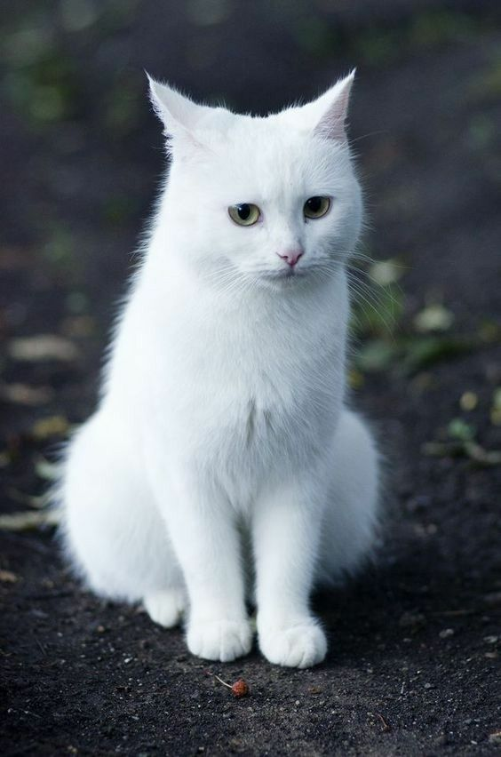 Картинки кошки белые
