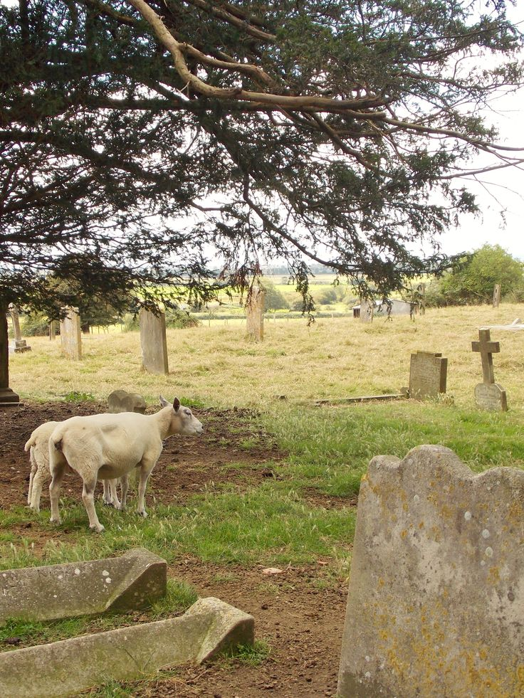 An English scene that probably hasn't changed in hundreds of years. Romney Marsh sheep keeping the graveyard grass down at the Church of St Mathew, Warehorne, Kent, built in 1200. By B Lowe
