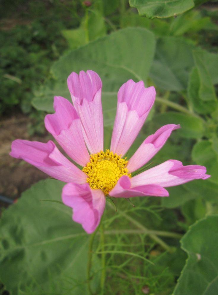 Космею можно использовать в качестве оригинальной живой изгороди. Ее можно даже подстригать и сформировать красивые цветущие кустики.