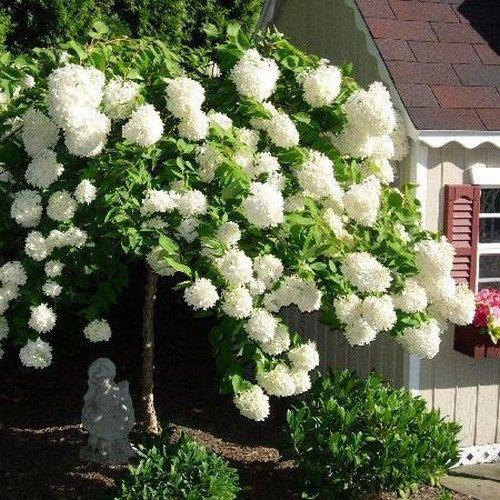 semillas marsella hortensias gee pee hortensias candelero crecimiento hortensias hortensias blancas flores blancas arbustos en flor plantas