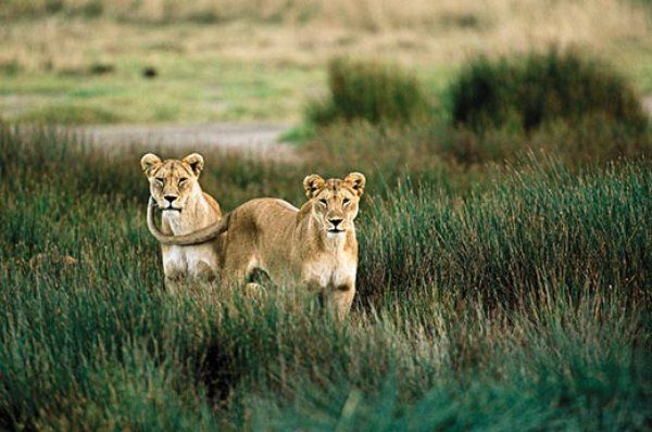 The Truth About Lions | Science | Smithsonian