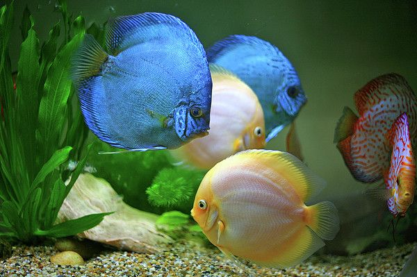 17 best images about discus on pinterest fresh water for Pretty freshwater fish