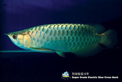 Temporary Blog For Wan Hu Arowana Division Of Qian Hu Corp Types Of Asian Arowana We Supply ปลา
