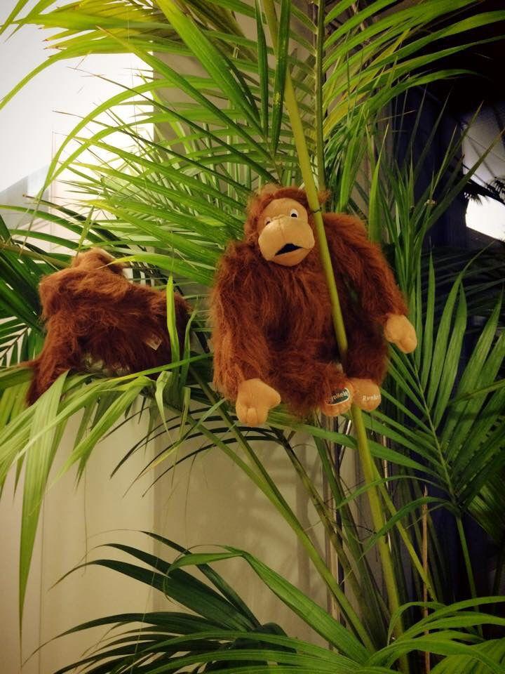 Pari Rynke-apinaa