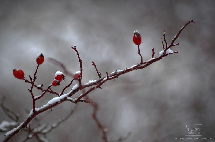 Norci photography: Csipkebogyó