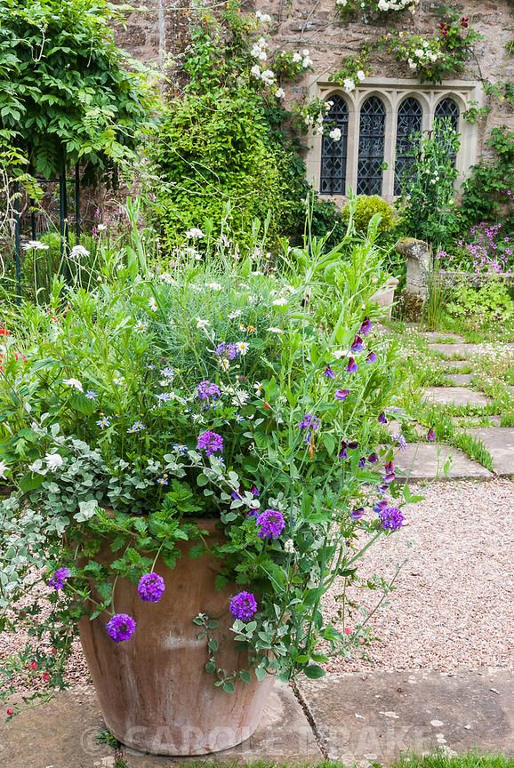 CAROLE DRAKE   Planter on the terrace at Cothay Manor, Somerset filled with a frothy mix of verbenas, sweetpeas, Argyranthemum 'Chelsea Girl' and helichrysum