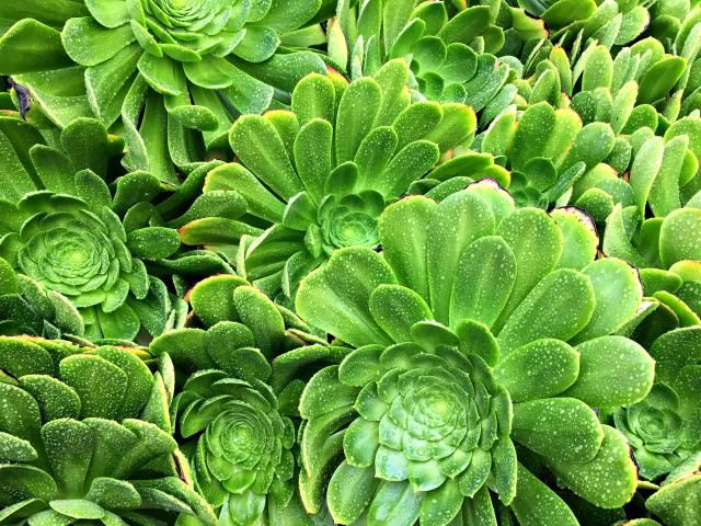 Poolside Plants That Look Like Paradise: A Field of Aeonium