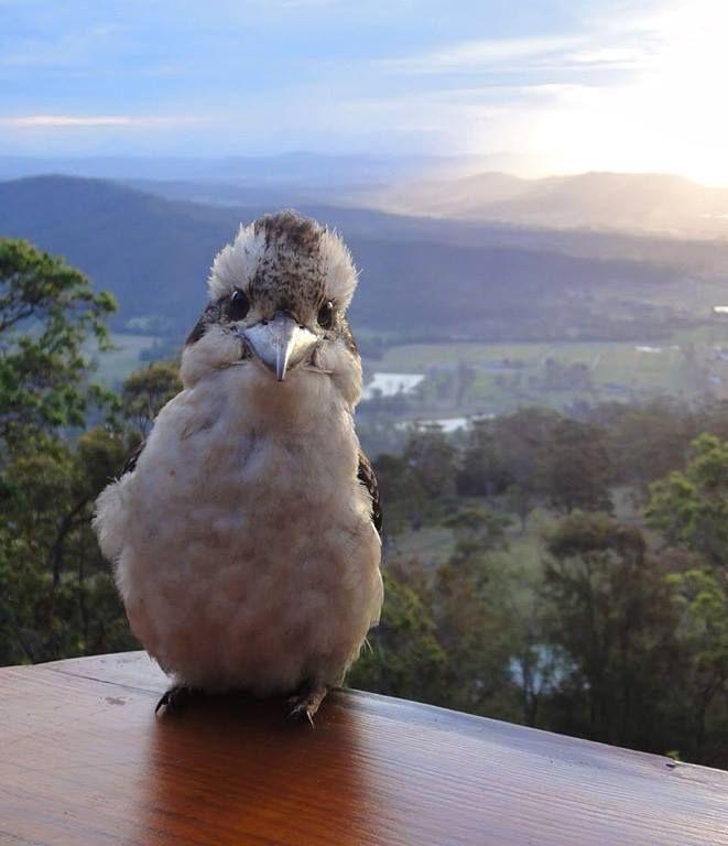 Kookaburra selfie .